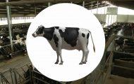 奶牛饲养:演示过程三维动画